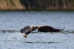 Beute ergriffen! Seeadler fängt Fisch