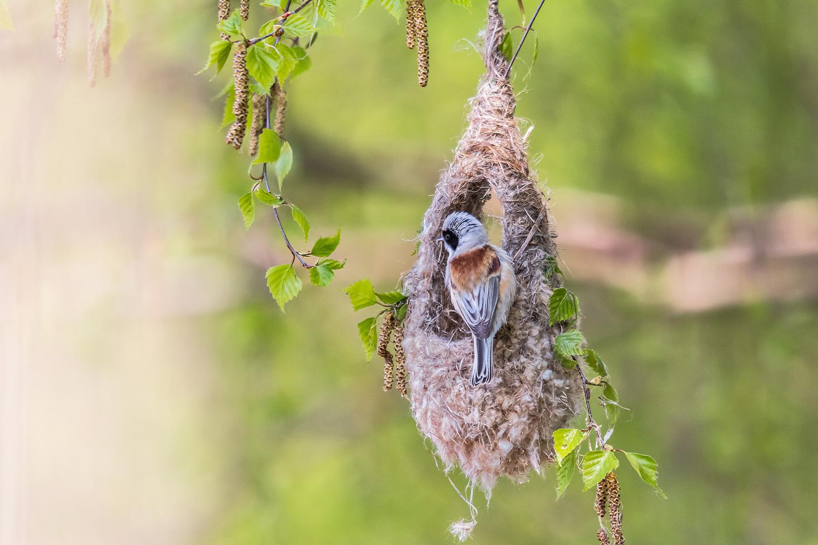 Beutelmeise am halbfertigen Nest