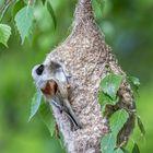 Beutelmeise bei der Fertigstellung des Nests