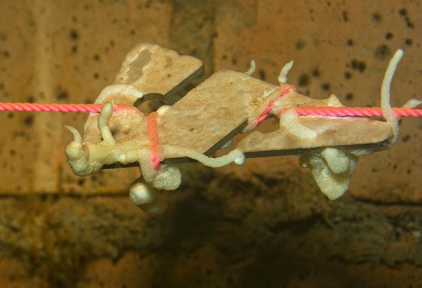 Bewachsener Höhlenpfeil