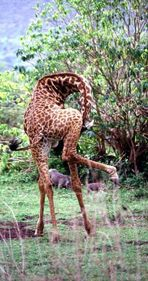 Beweglichkeit einer Giraffe