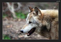 -Bewegung eines Wolfes-