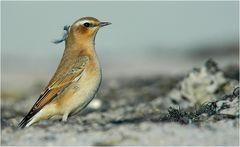 Bezaubernd schöne Vögel sind Steinschmätzer...