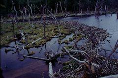 Biberdamm, NP Tierra del Fuego, Argentinien