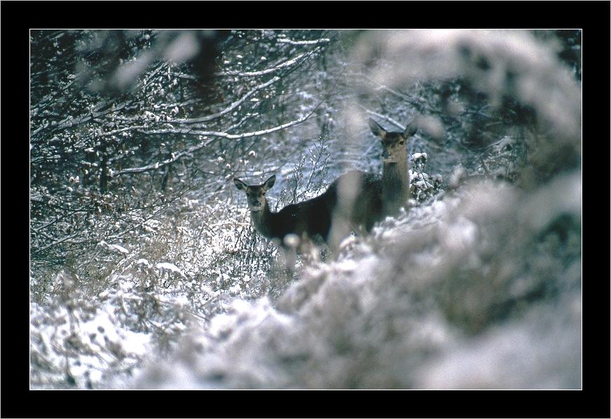 Biche et un jeune de l'année,forêt de compiegne,mi janvier