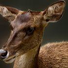 Biche, oh ma biche…. ! Parc zoologique et forestier de Nouméa