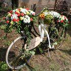 bicifiorita