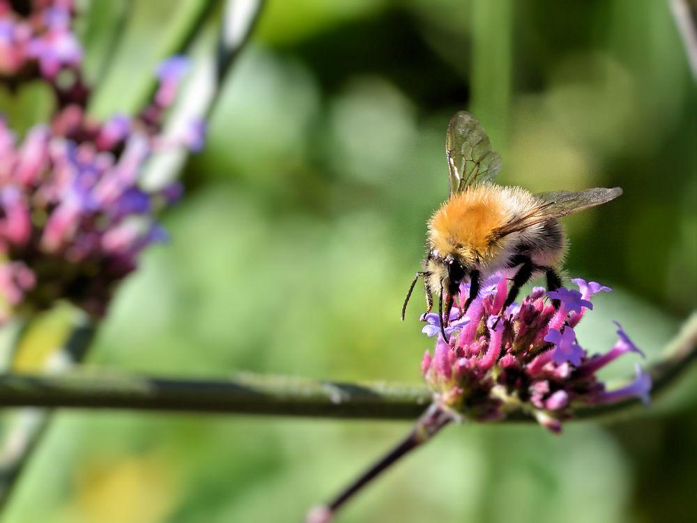 Bienchen am Abend....