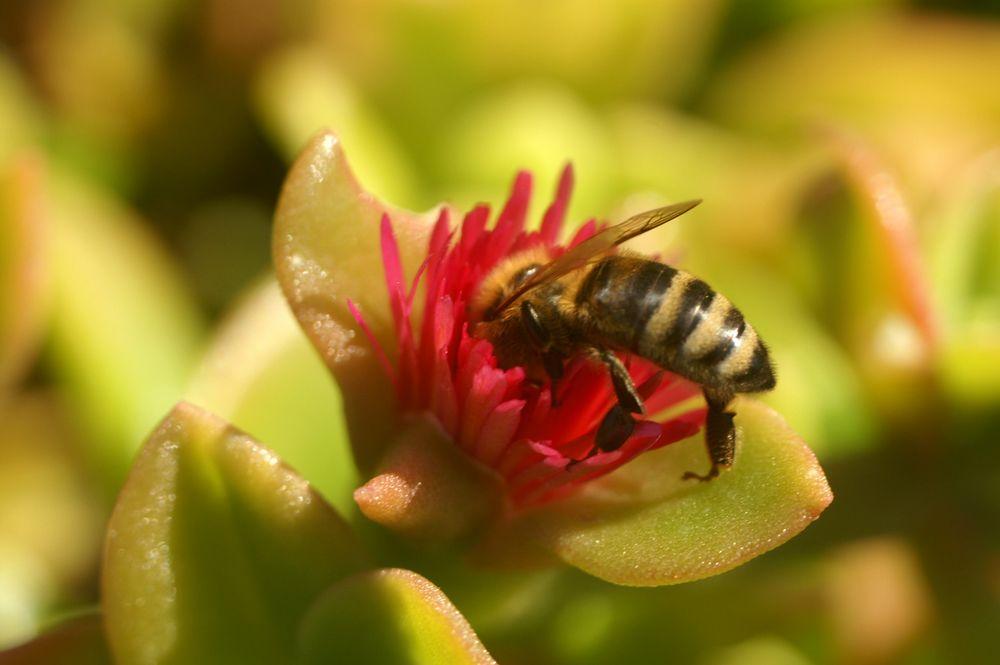 Bienchen am Hang in Koromili Griechenland