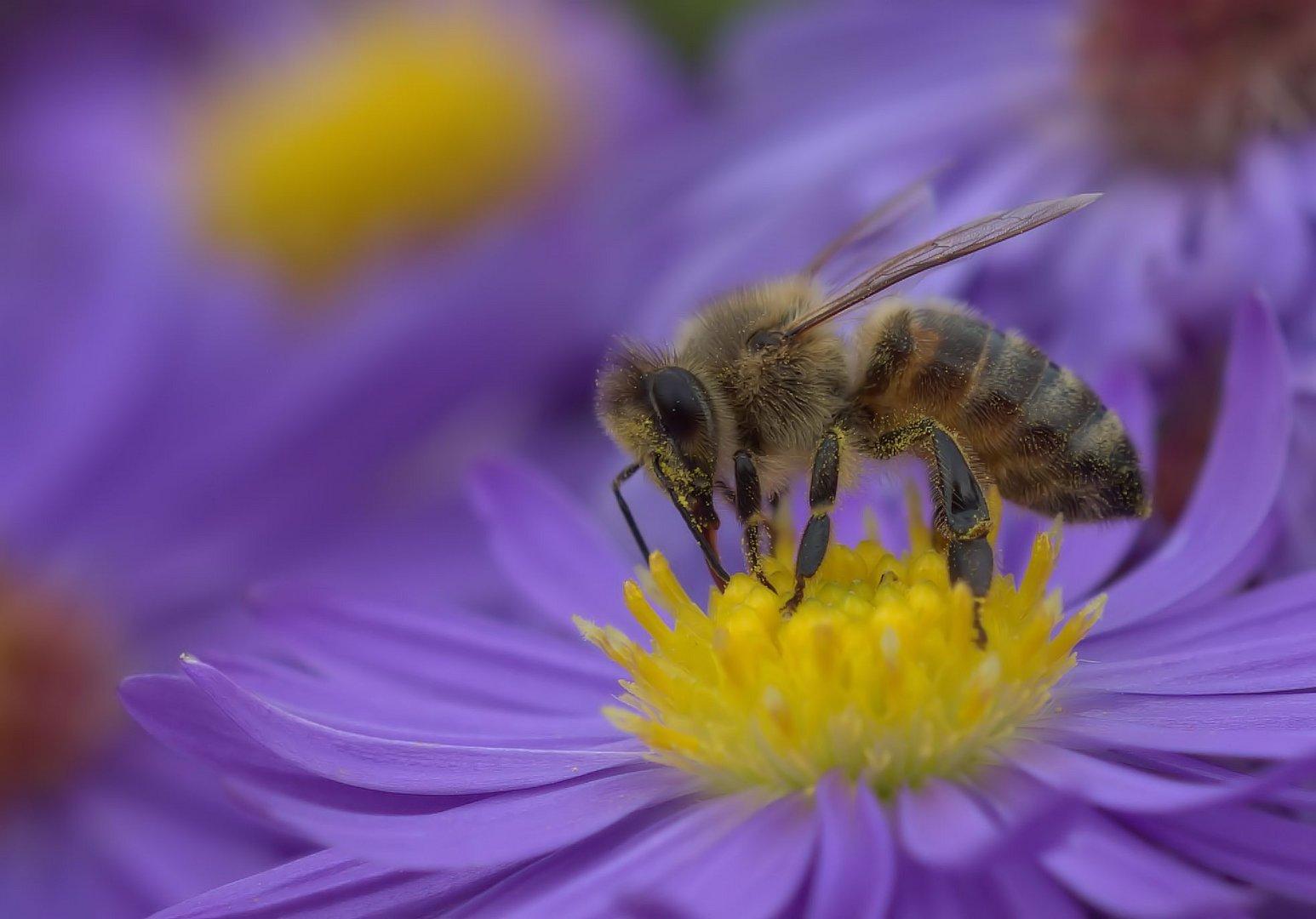 Bienchen auf Lila Blüte