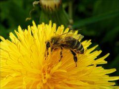 Bienchen... geliebtes Bienchen.