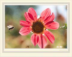 Bienchen im Anflug