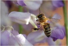 Bienchen im Schlaraffenland