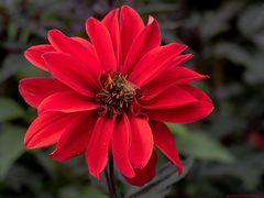 Bienchen in Rot