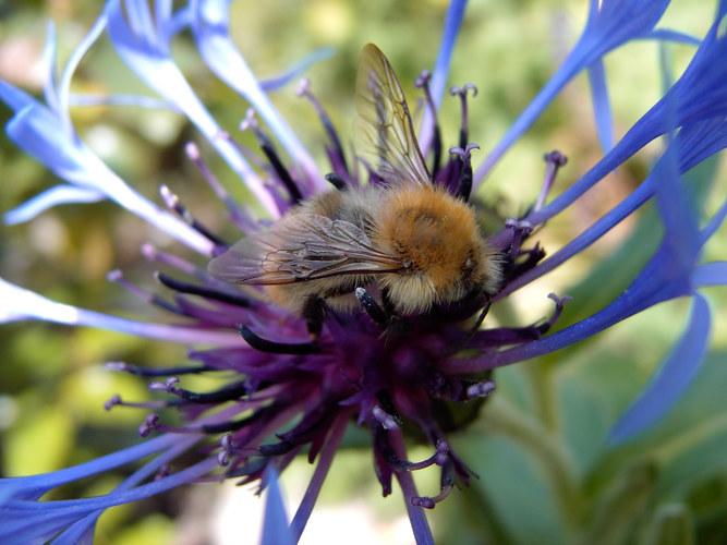 Bienchen mag Blümchen