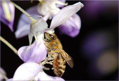 Bienchen nimmermüde