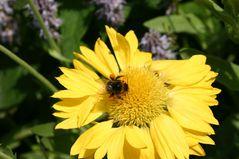 Bienchens Mittagsmahlzeit