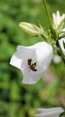Biene als Glockenläuter