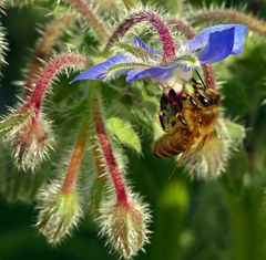 Biene am Borretsch ( Borago officinalis )