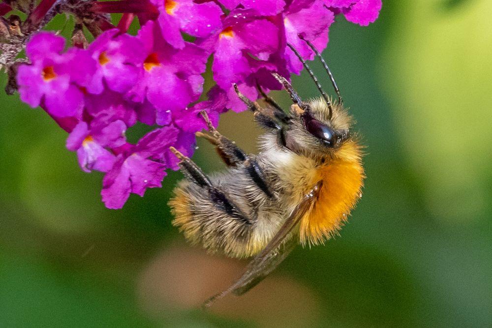Biene am Flieder