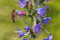 Biene am Natternkopf