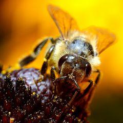 Biene am Sonnenhut