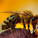 Biene am Sonnenhut (I)