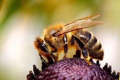 Biene am Sonnenhut (II)