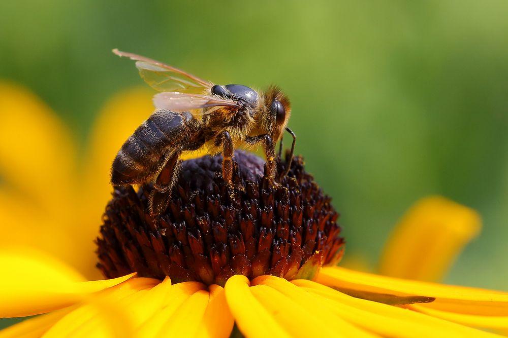 Biene am Sonnenhut (Rudbeckia) (I)