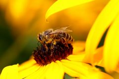 Biene am Sonnenhut (Rudbeckia) (II)