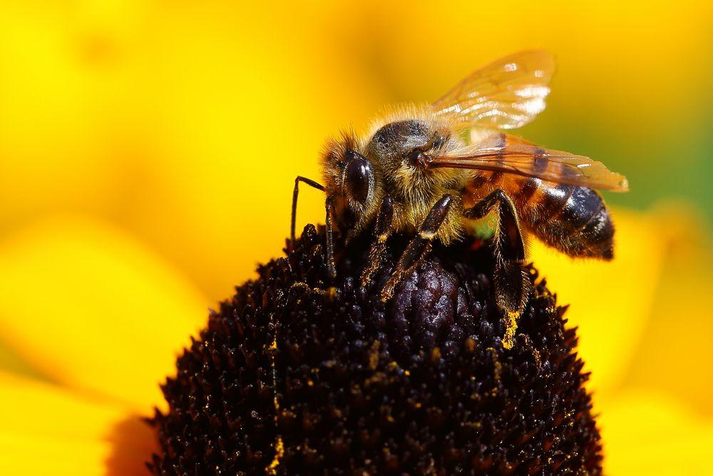 Biene am Sonnenhut (Rudbeckia) (III)