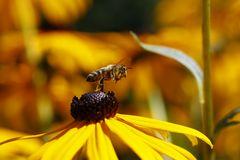 Biene am Sonnenhut (Rudbeckia) (III) - Start