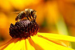 Biene am Sonnenhut (Rudbeckia) (V)