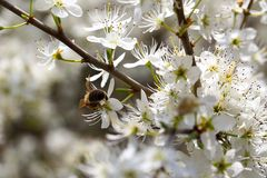 Biene an blühendem Schlehdorn (I)