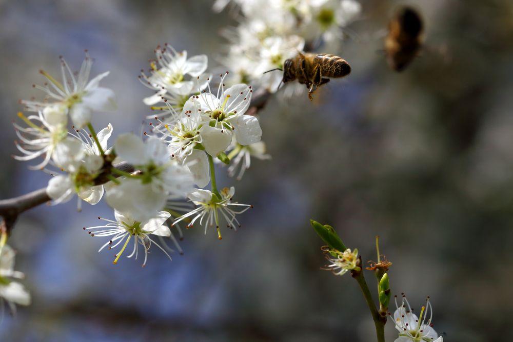 Biene an blühendem Schlehdorn (II)