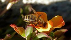 Biene an der Arbeit