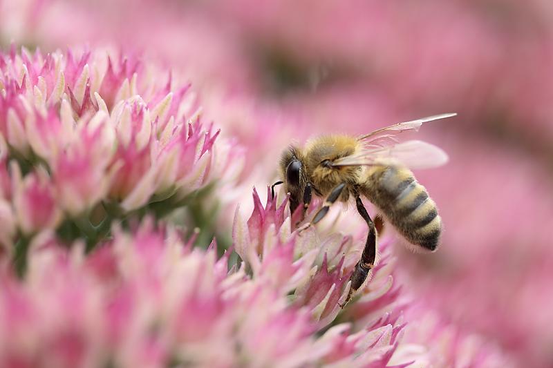Biene an der fetten Henne