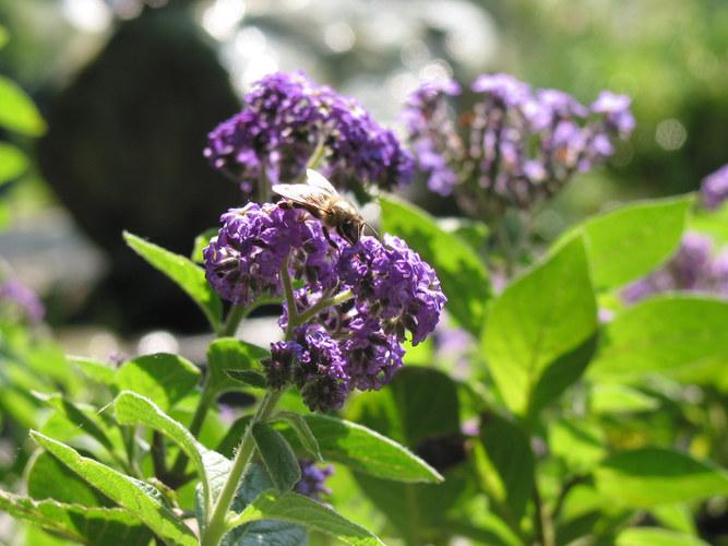 Biene an der Mainau