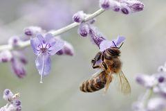 Biene an einer Blüte hängend