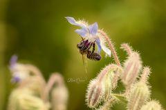 Biene an einer Borretschblüte