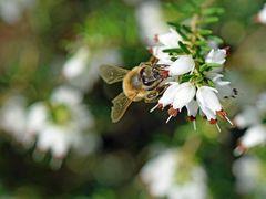 Biene an einer Erikablüte