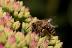 Biene an Fetthenne