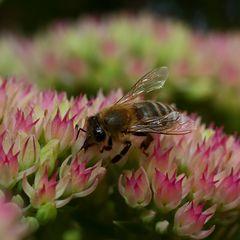Biene an Fetthenne (III)
