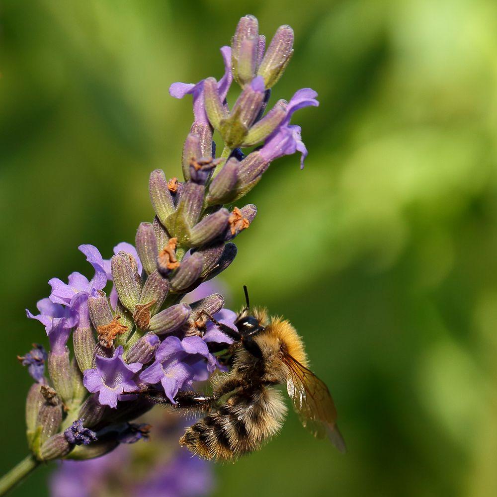 Biene an Lavendel (I)