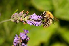 Biene an Lavendel (II)