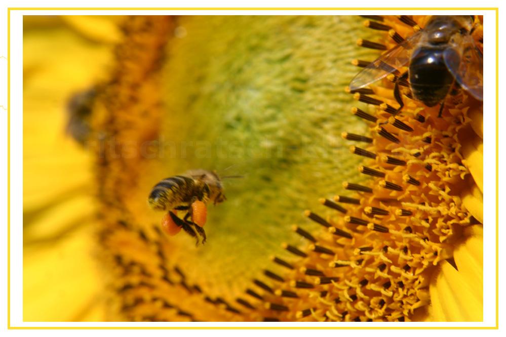 Biene an Sonnenblume, erbitte Landegenehmigung zur Pollenaufnahme...