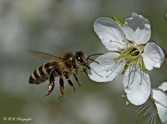 Biene an wilder Mirabellenblüte