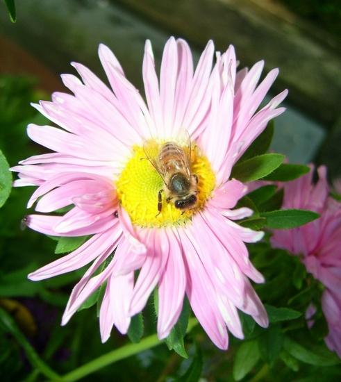 Biene auf Aster