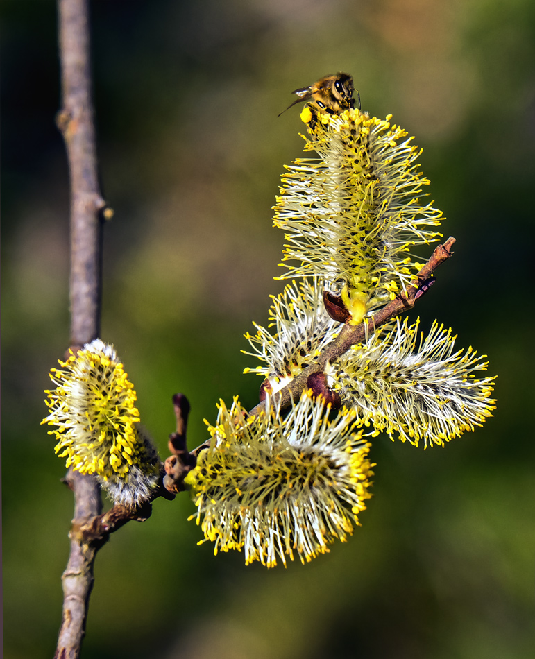 Biene auf blühenden Palmkätzchen