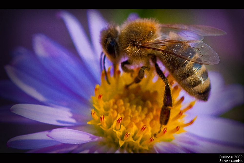 biene auf blume ii foto bild tiere wildlife insekten bilder auf fotocommunity. Black Bedroom Furniture Sets. Home Design Ideas